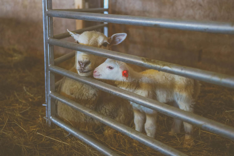 High Angle View Of Sheep And Lamb In Pen