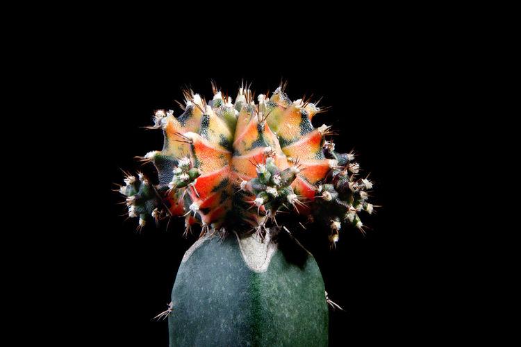 Close-up of cactus plant against black background