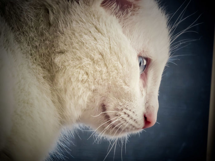 Loewie Cat Cats Cat♡ Cats Of EyeEm Cat Lovers White