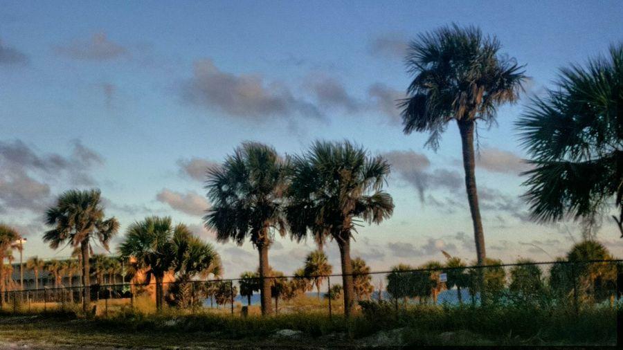 Tree Palm Tree Tree Trunk Blue Sky Cloud - Sky