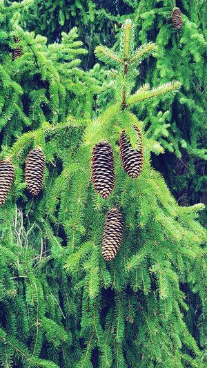 pinecones on