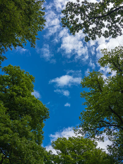 Blue sky with small white clouds through some beech trees in a forest Tree Plant Sky Low Angle View Cloud - Sky Beauty In Nature Blue Tranquility Growth No People Nature Day Green Color Tranquil Scene Scenics - Nature Outdoors Idyllic Sunlight Forest Non-urban Scene Tree Canopy  Beech