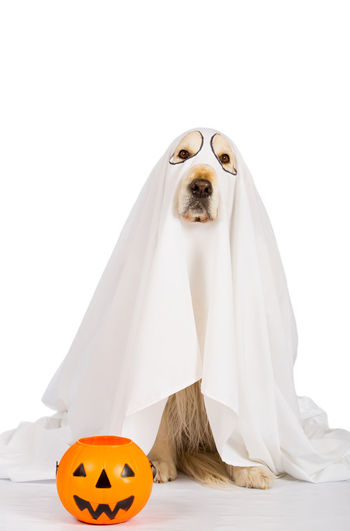 Portrait of dog covered with textile against white background