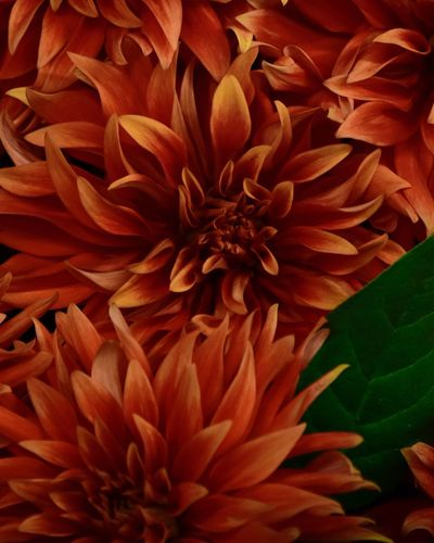 Background Dahlia Flower Dahlia Flowers Dahlia Full Frame Beauty In Nature Backgrounds Close-up Freshness Flower Flower Head Orange Color Nature No People Petal Vulnerability  Fragility Inflorescence Flowering Plant Plant Growth Day Red