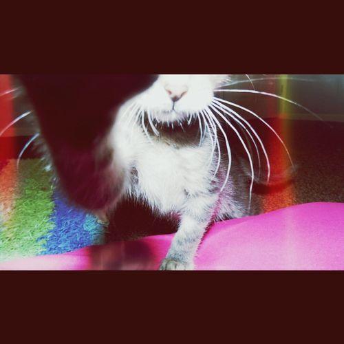 Haha, he was blocking my camera view. Pele Kitten Cute Putty Tat