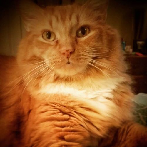 He so pretty! 😻 Cats Catsofinstagram Catstagram Butterthecat Luvmyginger Purrfect Pawesome Kitty