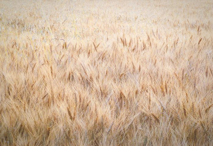 Take A Walk Wheat Field Softtones Naturelovers Like A Cat