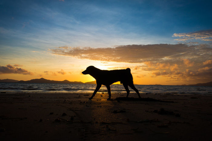 Silhouette of island dog running on a beach at sunrise Animal Themes Beach Dog Beach Sunrise Beach Sunset Canine Dog Life Dog Lover Dog Silhouette Domestic Animals El Nido Horizon Over Water Island Living It's More Fun In The Philippines Man's Best Friend Morning Run Palawan Palawan Beach Palawan Philippines Philippines Photos Running Dog Sibaltan Silhouette Sunrise Sunset Sunset