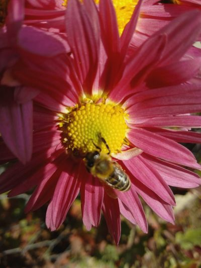 Flower Petal Fragility Bee Nature Insect Beauty In Nature Flower Head Freshness One Animal Pollination Pollen Plant Yellow Honey Bee Close-up Animals In The Wild Growth Animal Wildlife Animal Themes