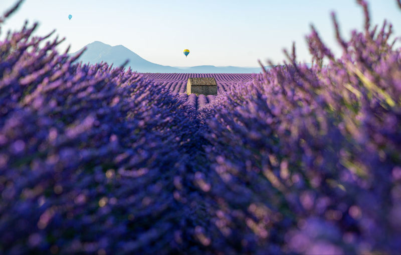Hot air balloons over lavender fields