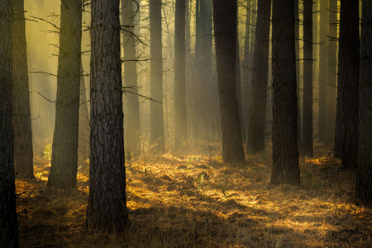 Beautiful golden light on a misty morning in the pine tree forest near the Kalmthoutse Heide in Belgium. Mystic Nature Sunlight WoodLand Colorful Colorful Nature Foggy Forest Forest Photography Gold Colored Golden Light Kalmthoutse Heide Kalmthoutseheide Landscape Mist Misty Morning Mysterious Pine Tree Pine Trees Scenics Sunlight And Shadow Sunrise Woodlands