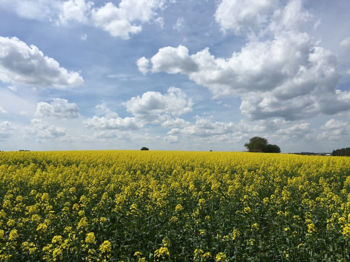 Yellow flowers on agricultural field against cloudy sky