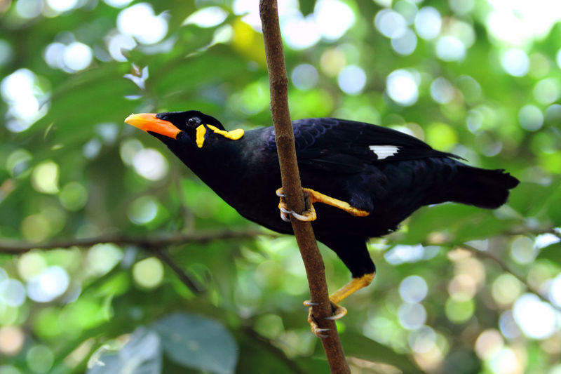 Beo (Gracula) Animal Themes Animal Wildlife Animals In The Wild Asian  Beak Beo Bird Birds_collection Blackbird Branch Day En Demic Focus On Foreground INDONESIA Low Angle View Nature No People One Animal Outdoors Perching Pretty Songbird  Tree Wild