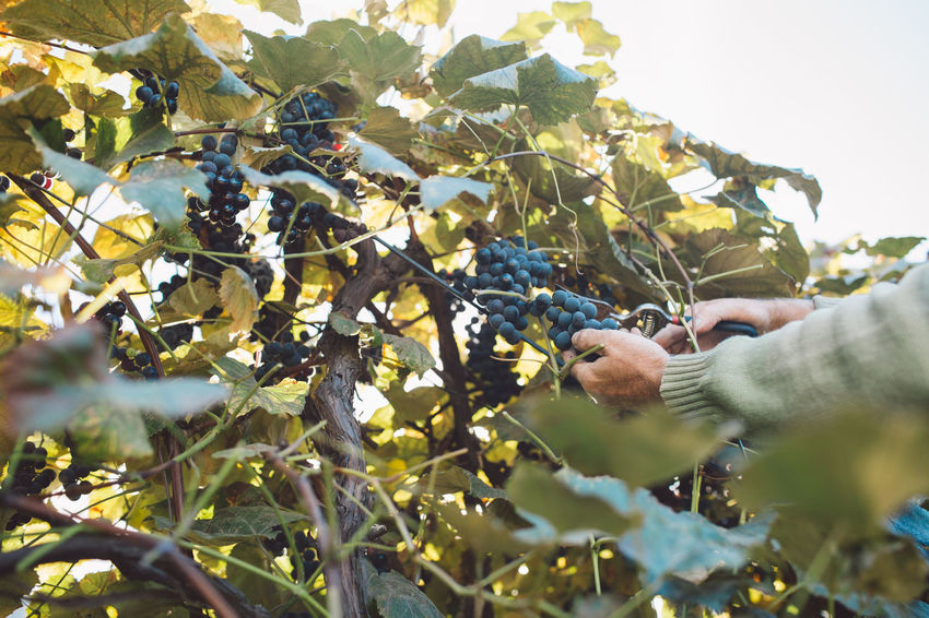 Vine Vineyard Plant Harvest Harvesting Harvest Time Autumn Growth Plant Part Leaf One Person Nature Human Body Part Hand Selective Focus Food Freshness Fruit Human Hand Food And Drink Tree Picking Healthy Eating Agriculture Day Real People Outdoors Farmer Ripe Farm Worker