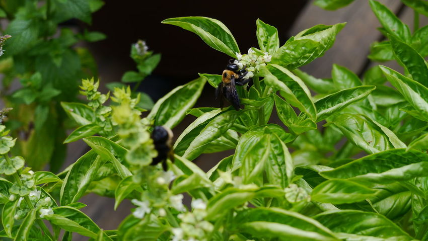 Basil Beauty In Nature Bees Bees And Flowers Bees Flower Wildlife Nature Beesonflowers Close-up Flowers Flowers,Plants & Garden Growth Herbs Leaf Leaves Nature Plant Vegetables