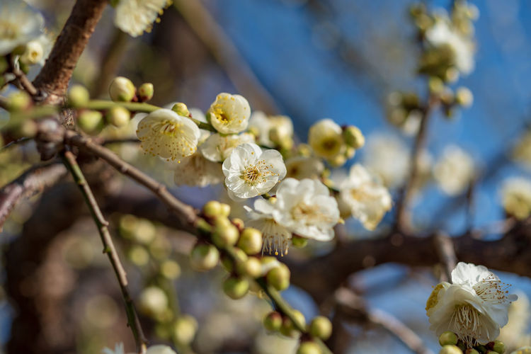 Plant Flower Flowering Plant Growth Beauty In Nature Fragility Freshness Vulnerability  Close-up Tree Focus On Foreground Blossom Branch Nature Springtime Selective Focus Petal No People White Color Twig Flower Head Pollen Outdoors Cherry Blossom Spring