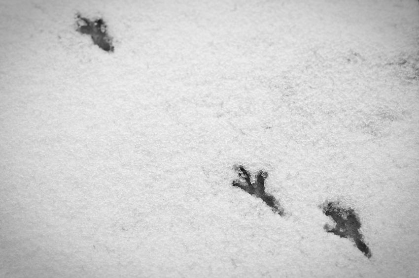 Bird prints in the snow. Photograph (c) 2013 Kay-Christian Heine Animal Track Bird Prints Black & White Black And White Blackandwhite Close Up Close-up Cold Cold Temperature Contrast Day Diagonal Frost High Angle View Ice Icy Nature No People Outdoors Paw Print Snow Snowy Track Winter Winter