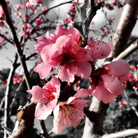 Springtime blossom Plant Flower Flowering Plant Pink Color Growth Beauty In Nature Fragility Springtime Focus On Foreground No People Petal Tree Blossom Close-up Vulnerability  Flower Head Freshness Nature