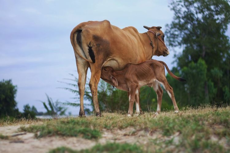Cow feeding calf on field