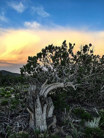 """""""Juniper Sunrise"""" The early morning sun highlights the grainy bark of an old, stately Juniper Pine as it watercolor paints the sky and clouds beyond. Juniper Junipertree Oldtree Sunrise Sunrise_Collection Newmexicophotography NewMexcio Newmexicoskies Clouds And Sky"""