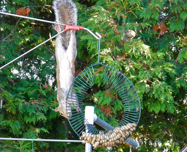When you're really hungry and just gotta have a nut.... squirrel acrobatics EyeEm nature lover