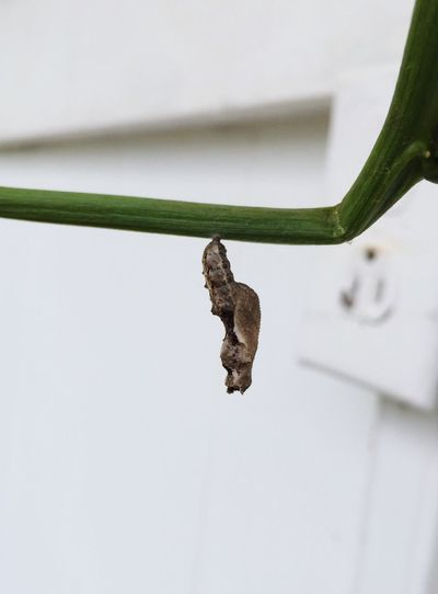 Banana polk catapiller turned into a chrysalis..looks weird!!! Views Cool Different Perspective Oahu, Hawaii Nature Caterpillars  Life Cycle Insects  Metamorphosis Nature On Your Doorstep Life Cycle Ugly Duckling Beauty In Nature Chrysalis Banana Polk Chrysalis