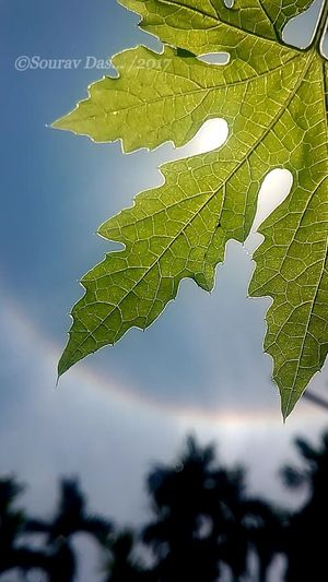 Ring rainbow around the leaf... Leaf Nature Tree No People Sky Outdoors Fruit Branch Day Cloud - Sky Citrus Fruit Plant Beauty In Nature Freshness Close-up Indianphotography EyeEm Team Beauty In Nature Nature Green Color Likeforlike Green Leaves Selective Focus The Week On EyeEm