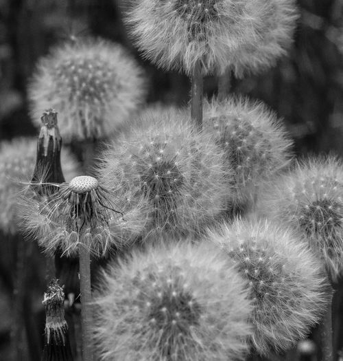 Flowerscapes - Orbs of Spring Close-up Plant Nature No People Focus On Foreground Growth Freshness Day Beauty In Nature Flower Outdoors Succulent Plant Flowering Plant Cactus Botany Thorn Land Spiked Fragility Vulnerability  Spiky Puffballs Dandilion Seed Balls