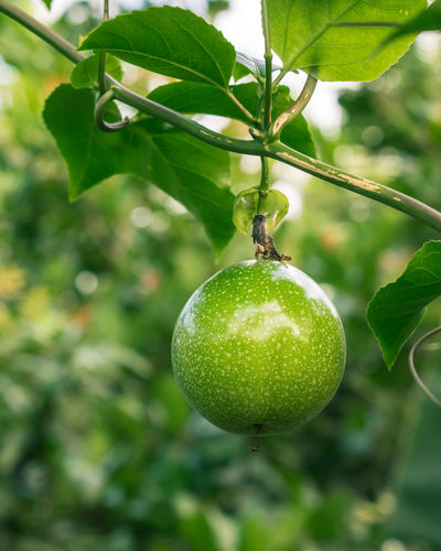 Passionfruit Fruit Hanging Healthy Eating Freshness Food Food And Drink Agriculture Green Color Unripe Plant Ripe Nature Outdoors Growth Day No People Close-up Fruits Fruitporn Beauty In Nature Green Color Leaf Growth