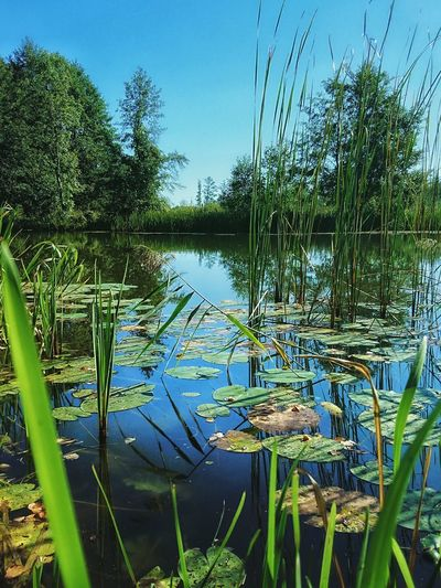 Water Nature Lake Reflection Green Color Outdoors Plant No People Floating On Water Beauty In Nature Lily Pad Close-up Tree Sky Day Summer River Rzeka Jezioro Sunny Day Sunny River River View Riverside Photography River Life