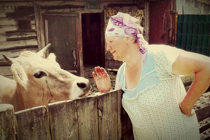 Кормилица. деревня корова кормилица хозяйство любимая молоко здоровье разговор натуральное Россия бабушка