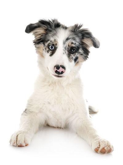 Portrait of dog sitting against white background