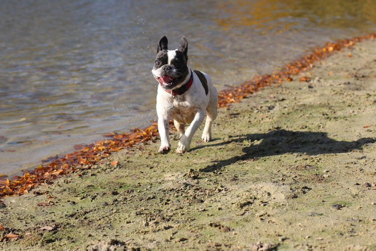 Bulli Dog Dog Having Fun Dog In Action Dogs Dogs In Action Französische Bulldogge  French Bulldog Frenchbulldog Frenchie Hund Hund Am See Hund Am Strand Hund Am Wasser Hund In Aktion Hunde Nature Outdoors Running Running Dog Shadow