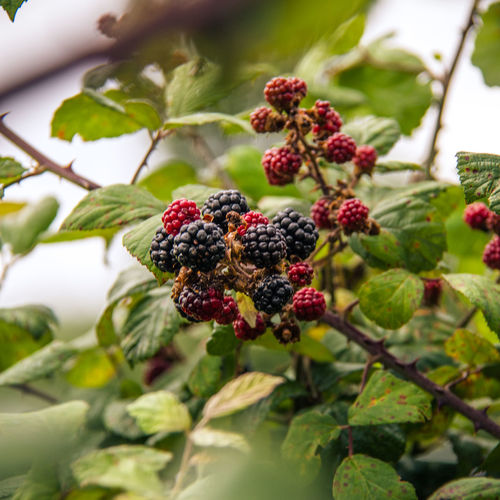 Beauty In Nature Berry Fruit Blackberries Blackberry Bramble Close-up Day Focus On Foreground Food Food And Drink Freshness Fruit Green Color Growth Healthy Eating Leaf Nature No People Outdoors Plant Raspberry Red Tree
