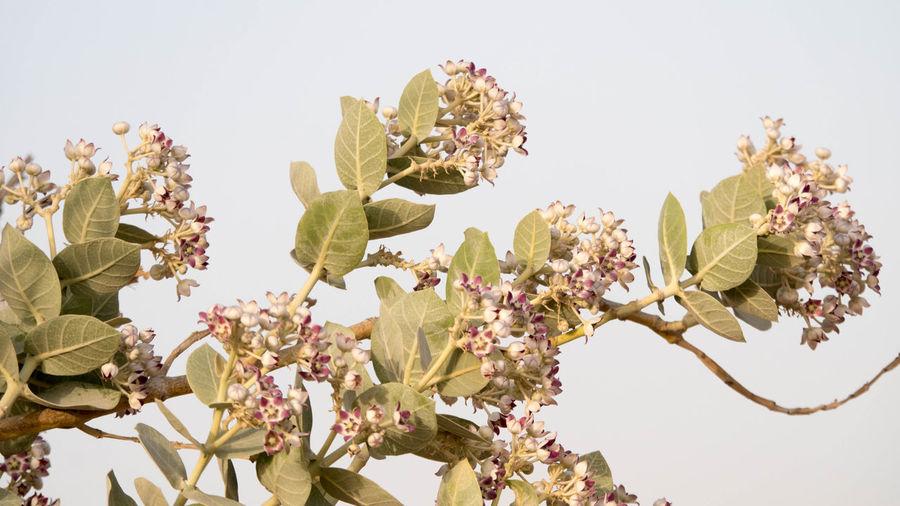 Beauty In Nature Desertflower Flower Plant