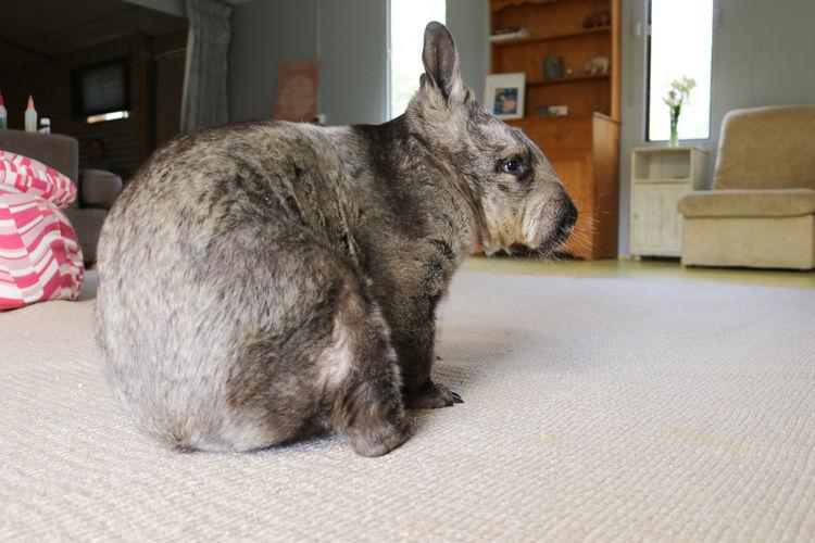 Animal Love Animal Nose Rescued Friendnotfood Cute Pet Australia Wombat  Sanctuary  EyeEm Selects Pets Animal Ear Animal Hair