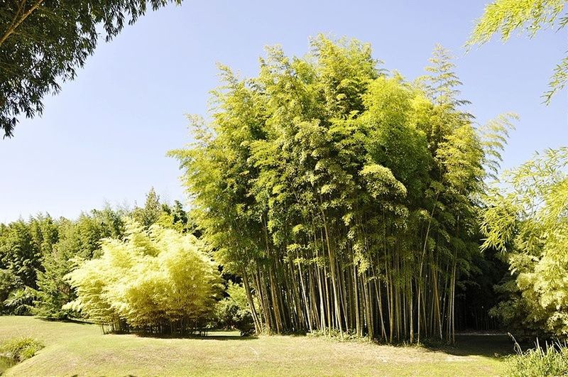 Tree Green Color Nature Outdoors Nature Beauty In Nature EyeEmNewHere Green Color France Anduze Banboo Bamboo Forest Bamboo Tree Landscape