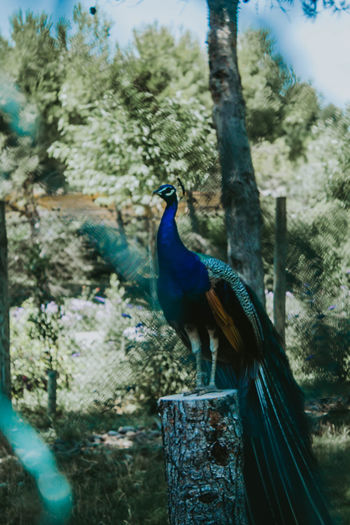 EyeEm EyeEm Selects EyeEm Gallery Animal Animal Themes Animal Wildlife Animals In The Wild Beauty In Nature Bird Blue Close-up Day Focus On Foreground Male Animal Nature No People One Animal Outdoors Peacock Perching Plant Profile View Tree Turquoise Colored Vertebrate