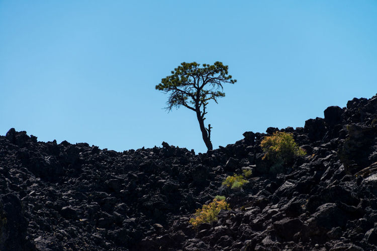 Trees growing out of volcanic rock Earth Beauty In Nature Blue Clear Sky Copy Space Day Environment Geological Formation Geology Growth Lava Field Lava Rocks Low Angle View Nature New Growth No People Outdoors Plant Rock Rock - Object Scenics - Nature Sky Solid Tranquil Scene Tranquility Tree Volcanic Landscape Volcanic Rock