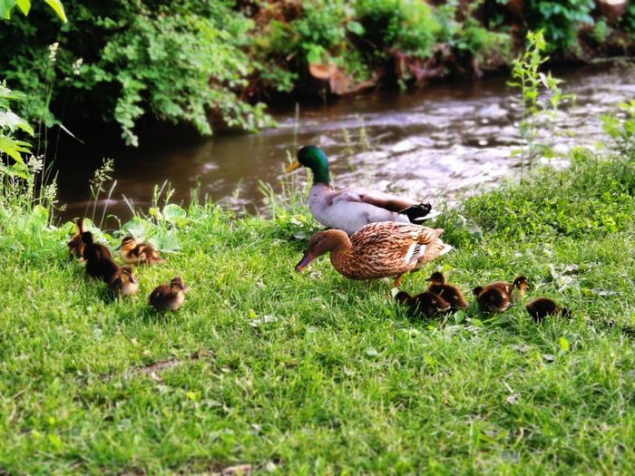 Enten Green Nature Creek Bird Water Lake Animal Themes Grass Green Color Duckling Duck Animal Family Swimming Animal Young Bird Gosling Chick Growing Infant