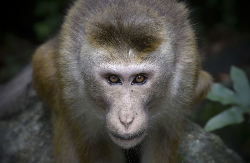 Stare down with the macaque troop leader Alertness Animal Body Part Animal Eye Animal Hair Animal Head  Animal Themes Close-up Day Focus On Foreground Macaque Mammal Monkey Nature No People Outdoors Portrait Selective Focus Snout Stare Down Whisker Wildlife