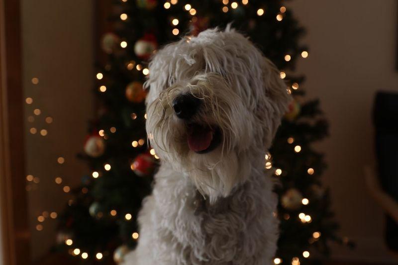 Close-up of dog on christmas tree