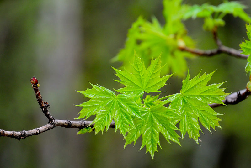 Nature Plant Green Color Beauty In Nature No People Tree деревья листья клён