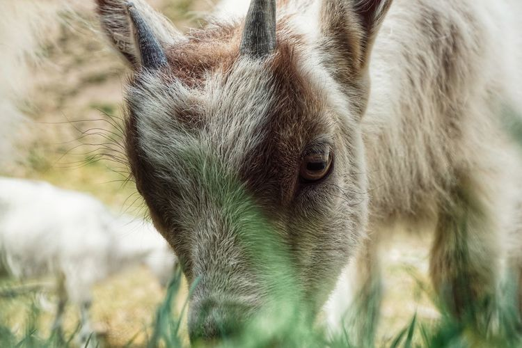 Young Animal Goat 2019 Niklas Storm Juni Eyelash Portrait Close-up Grass Animal Body Part Animal Eye Animal Nose Animal Ear Animal Face Animal Hair Animal Head  My Best Photo