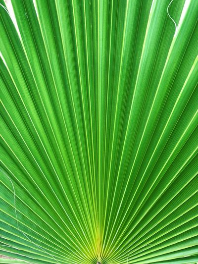 Palm Leaf Green Color Nature Backgrounds Leaf Close-up Freshness Textured  No People