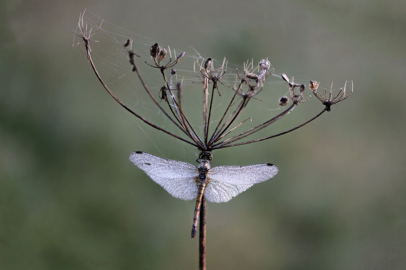 Dragonfly on a dry Apiaceae plant Dragonfly Lithuania Nature Apiaceae Beauty In Nature Close-up Dry Plant Entomology Flower Head Focus On Foreground Fragility Growth Insect Land Mist Nature No People Odonata Outdoors Plant Plant Stem Tranquility Twig Umbellifer Vulnerability  Wings