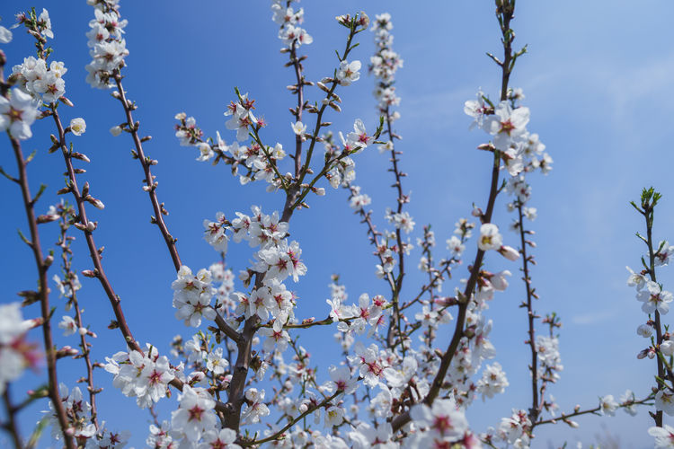 Flower Flowering Plant Plant Growth Fragility Blossom Vulnerability  Beauty In Nature Tree Low Angle View Springtime Sky Freshness Day Nature Branch No People White Color Close-up Cherry Blossom Cherry Tree Outdoors Flower Head Pollen Spring