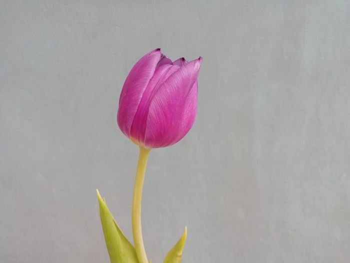 Close-up of pink tulip flower against wall