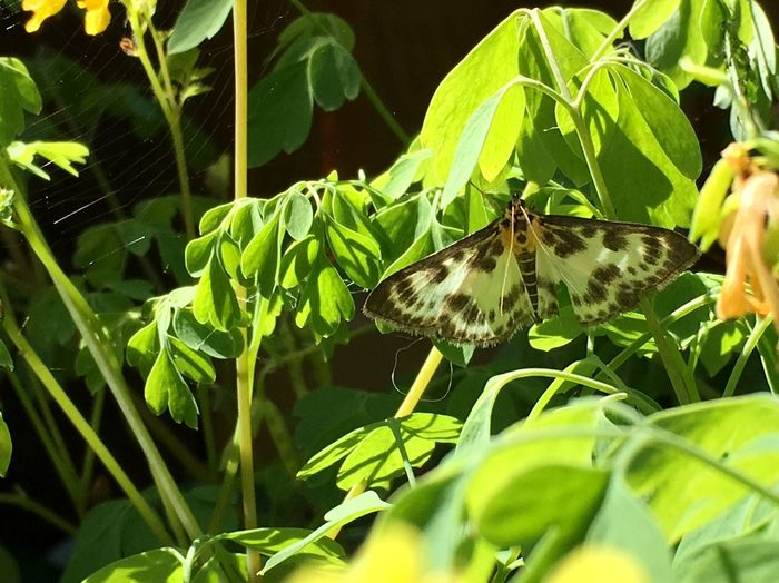 Micro Moth Lepidoptera Corydalis Small Magpie Moth Animal Wildlife Insect Animals In The Wild Animal Animal Themes The Great Outdoors - 2018 EyeEm Awards Plant Part Leaf Nature Day No People Growth Plant Beauty In Nature Outdoors Green Color Focus On Foreground Close-up Animal Wing