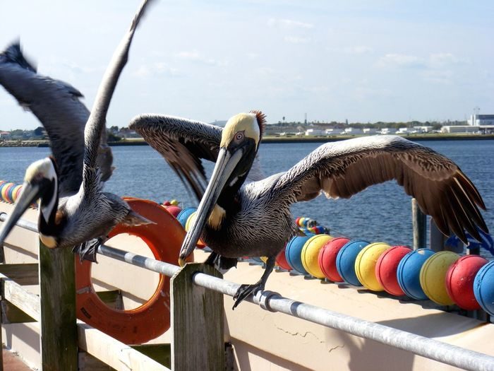 Pelicans with spread wings perching on railing by sea against sky